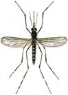 Aedesmücken