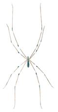 Spinne - Pholcus phalangoides