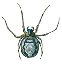 Spinne - Zygiella X-notata