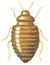 Weibchen - Thylodrias Contractus