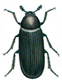 Zweifarbig behaarter Speckäfer