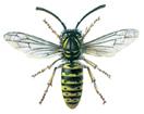 Gemeine Wespe