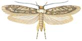 Kleistermotte mit entfaltenden Flügel