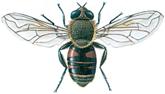Schwebfliege, Eristalis tenax