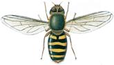 Schwebfliege, Syrphus ribesii