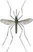 Gemeine Stechmücke