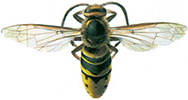 Große Hornisse - Wespe