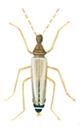 Thylodrias Contractus, Männchen