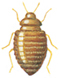 Thylodrias Contractus, Weibchen