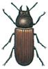 Vierhornkäfer, Gnathocerus cornutus