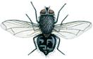 Pollenia Rudis