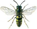 Deutsche Wespe