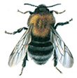Steinhummel - Bombus Hypnorum