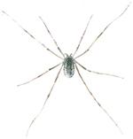 Weberknecht - Phalangium opilio