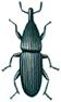 Rüsselkäfer, Pentarthrum huttoni
