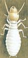 Termite - Reticulitermes flavipes