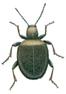 Diebskäfer, Sphaericus gibbioides