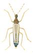 Männchen - Thylodrias Contractus
