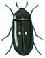 Pelzkäfer