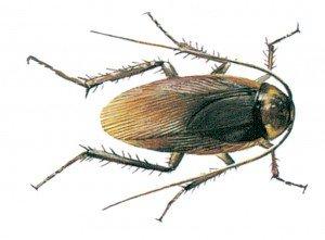 Amerikanische Schabe - Tierische Schädlinge in Haus und Lager - Seite 68