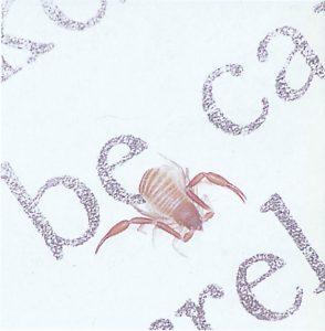 Bücherskorpion jagt Milben und Staubläuse