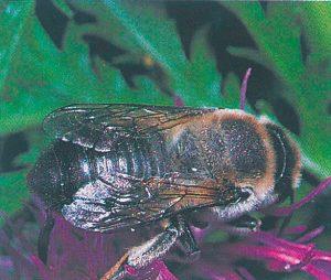 Blattschneiderbiene auf Blumenbesuch in Flockenblume