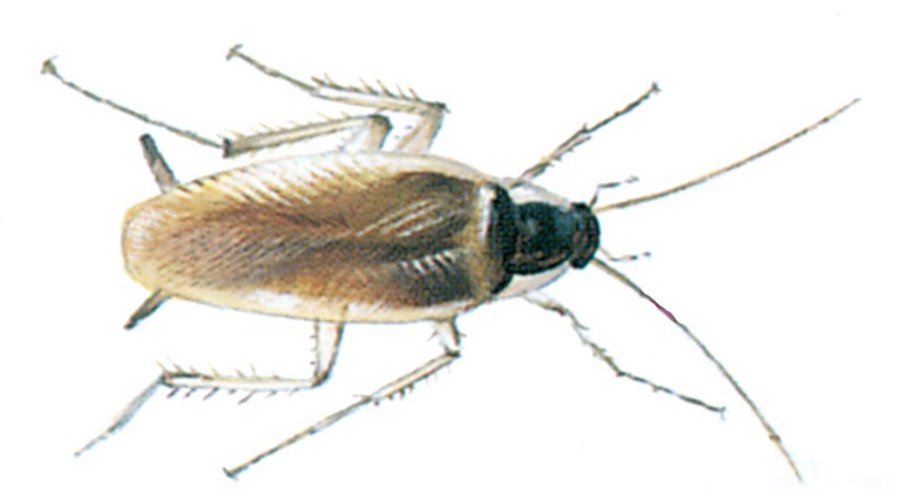 Braungestreifte Schabe - Tierische Schädlinge in Haus und Lager - Seite 68