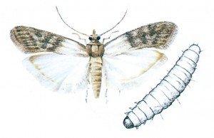 Dörrobstmotte - Tierische Schädlinge in Haus und Lager - Seite 71