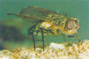 Die Fliegen, Pollenia rudis werden an ihren goldenen Haare erkannt