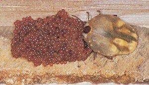 Eier von Hundezecke - Tierische Schädlinge in Haus und Lager - Seite 42