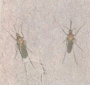 Gemeine Stechmücken überwintern an einer Kellerwand