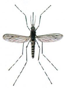 Geringelte Stechmücke
