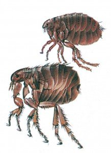 Katzenfloh und Menschenfloh - Tierische Schädlinge in Haus und Lager - Seite 48