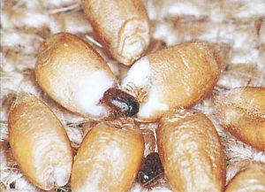 Khaprakäfer in Weizen