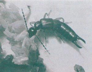 Kleiner Ohrwurm, Labia minor, frisst Fliegeneier