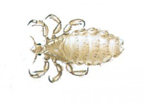 Kopflaus - Tierische Schädlinge in Haus und Lager - Seite 45