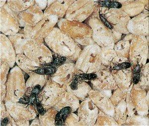 Kornkäfer in Getreide - Tierische Schädlinge in Haus und Lager - Seite 79
