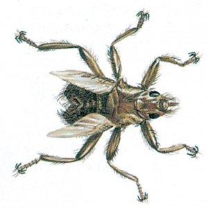 Lausfliege - Tierische Schädlinge in Haus und Lager - Seite 56