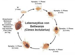Lebenszyklus von Bettwanze
