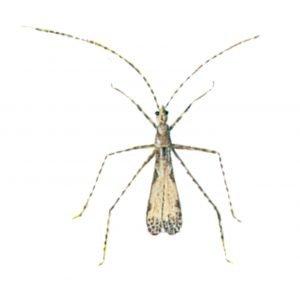 Mückenwanze