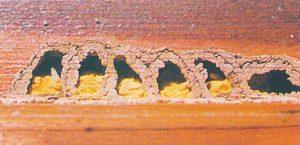 Mauerbienenzellen mit Pollen und Larven