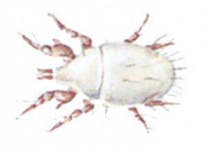Mehlmilbe - Tierische Schädlinge in Haus und Lager - Seite 63