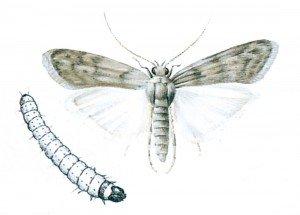 Mehlmotte und Larve - Tierische Schädlinge in Haus und Lager - Seite 70