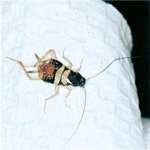 Nymphe der Braungestreiften Schabe - Tierische Schädlinge in Haus und Lager - Seite 68