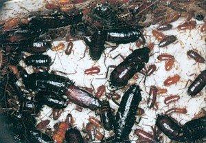 Nymphen und erwachsene Küchenschaben - Tierische Schädlinge in Haus und Lager - Seite 67