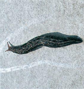 Schleimspur einer großen Kellerschnecke an einer Wand