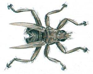 Schwalbelausfliege - Tierische Schädlinge in Haus und Lager - Seite 56