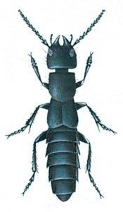 Schwarzer Moderkäfer