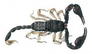 Skorpione - Tierische Schädlinge in Haus und Lager - Seite 38