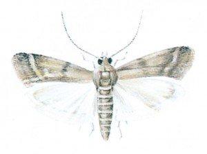 Speichermotte - Tierische Schädlinge in Haus und Lager - Seite 71
